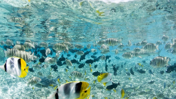 Tropical Fish in Bora-Bora Lagoon