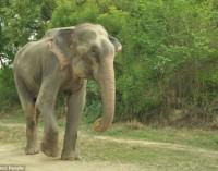 Слон се разплака, когато го освободиха от робство