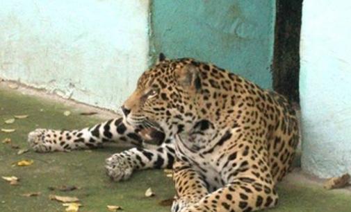 Ягуарът Алонсо бе застрелян след дълго преследване
