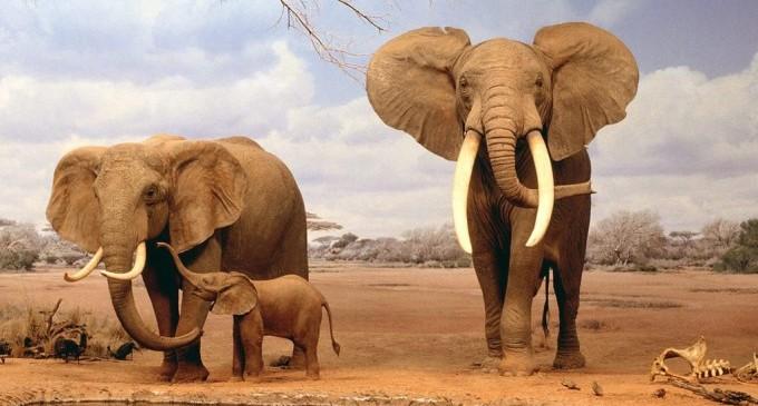 Слоновете в Африка изчезват