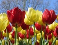 500 хил. цветя ще красят София