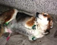 Напусна ни Мима – кучето с отрязаните лапи