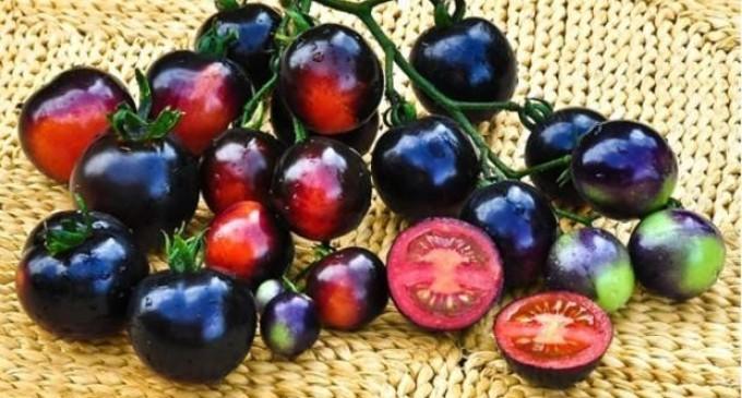 Австралийските черни домати – хит на европейския пазар