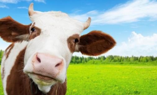 """Трескава подготовка за """"Мис крава"""""""