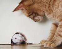 """Котките """"контролират"""" мишките чрез химикали в урината си"""