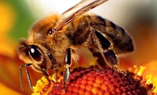 Отново за пчелите. Изчезват с все по-бързи темпове
