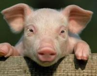 IT система вика прасетата в свинефермите по име за хранене