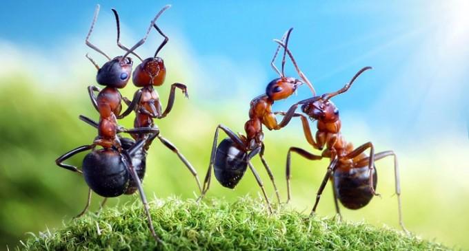 Мравките различават миризми, които хората не могат да усетят
